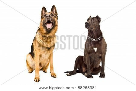 German Shepherd and Staffordshire terrier curious looking up