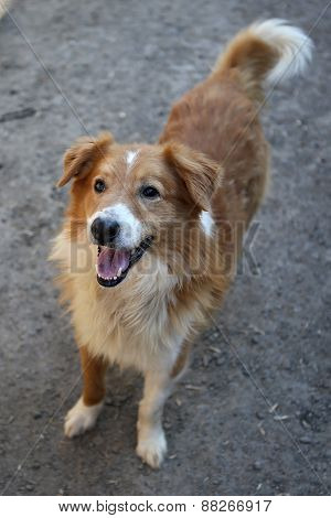 Beautiful Orange A Stray Dog From The Shelter
