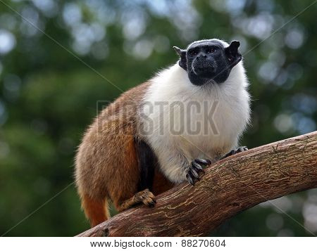 Mantle Tamarin
