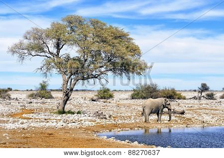 African Elephant At Water Pool In Etosha National Park