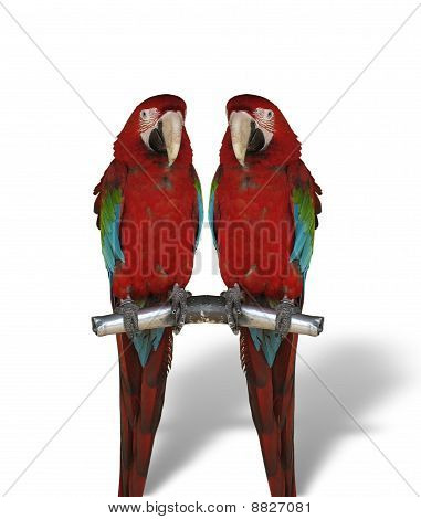 Two Colorful Parrots Isolated On White