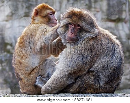 Berber Monkeys