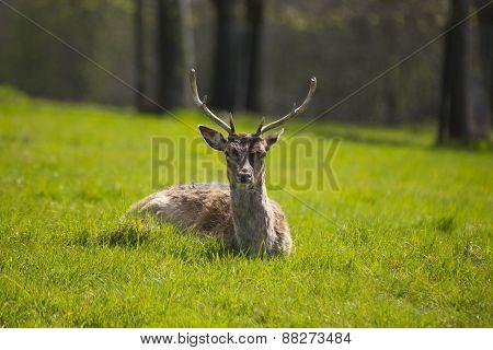 Deer (cervidae)
