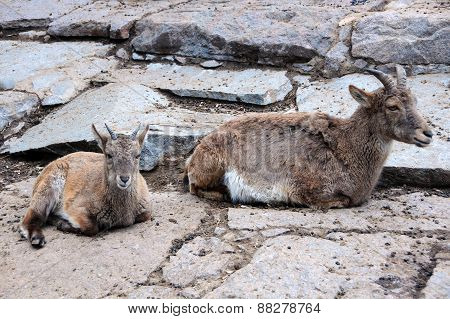 Young And Adult Female Markhors