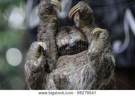Bradypus