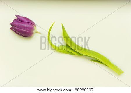 Tulip In Milk
