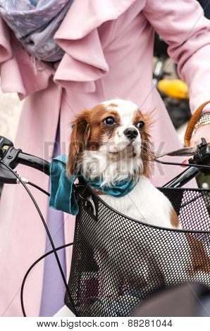 Dog standing in bicycle basket