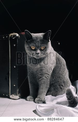 Gray British Cat  Sitting Near Suitcase