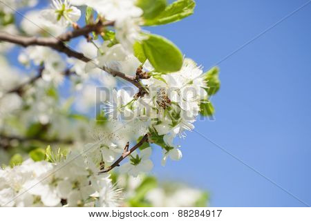Branch of apple tree with blooming flowers