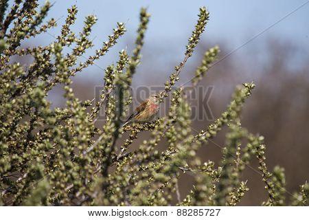 Common Linnet (carduelis Cannabina)