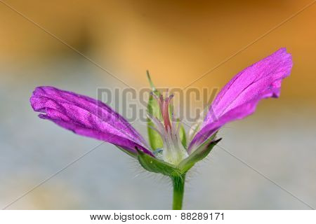 Close up on colorful petals, pistil, stamens, sepals on a plant.