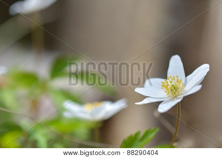 Anemone Nemorosa Is An Early-spring Flowering Plant In The Genus Anemone. Macro Photo