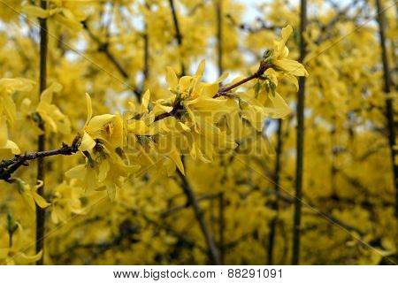 Beautiful spring yellow flowers. Golden shower tree.