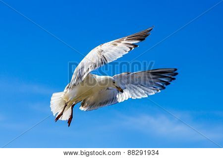 United Kingdom, Devon Seagull Soaring In The Blue Sky