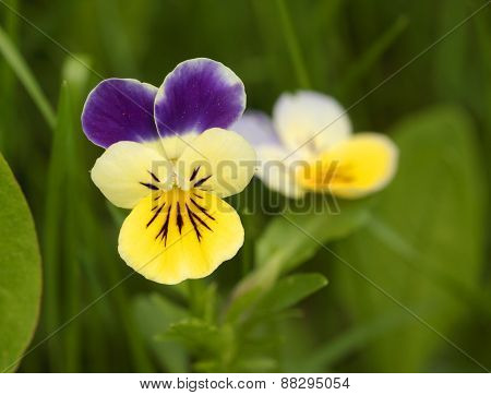 A wild Pansy
