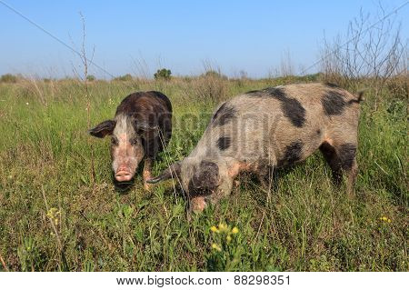Pigs On A Meadow