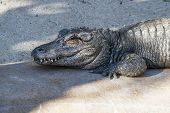 image of alligator  - Chinese alligator resting on a concrete pad at a zoo in California - JPG