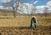 picture of potato-field  - Senior woman covering potatoes on a fresh plowed field; sowing potatoes