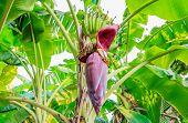 pic of banana tree  - banana blossom on the tree stock photo - JPG