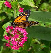 picture of monarch  - close up of Monarch Butterfly feeding on pink flower - JPG