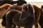 picture of foal  - Portrait of a young black Icelandic foal with curly mane