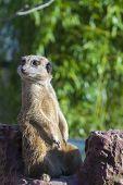 foto of meerkats  - A guarding meerkat or suricate  - JPG