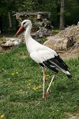 foto of stork  - Young stork on the green lawn background - JPG