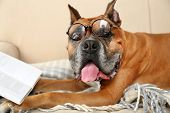 stock photo of shot glasses  - Cute dog in funny glasses and book lying on sofa - JPG