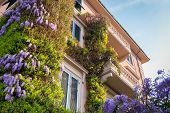picture of lilac bush  - Traditional italian architecture of Pisa city with purple lilac bushes - JPG