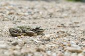 image of edible  - Edible Frog on Pebbles on a Sunny Day Side View - JPG