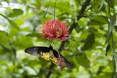 picture of upside  - Yellow and black butterfly hanging upside down feeding on red flower - JPG