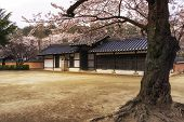 image of house woods  - cherry blossom tree and traditional korean house architecture in Gangneung South Korea - JPG