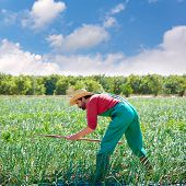 picture of orchard  - Farmer man working in onion orchard field with hoe tool - JPG