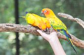 picture of sun perch  - Beautiful Sun Conure Parrot eating from a hand - JPG