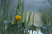 image of marsh grass  - Caltha palustris, marsh-marigold or kingcup under the rain, Vosges, France ** Note: Shallow depth of field - JPG
