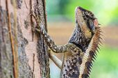 picture of lizards  - Greater spiny lizard - JPG