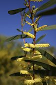 stock photo of mimosa  - Beautiful day in March and the blue sky - JPG