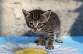 stock photo of homeless  - Small striped homeless kitten grey at the animal shelter - JPG