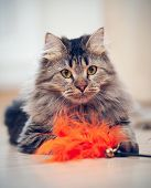 picture of puss  - The fluffy striped domestic cat plays with a toy - JPG