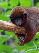 image of titi monkey  - Portrait of a Red titi with a green background  - JPG