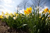 foto of easter lily  - Narcissus pseudonarcissus  - JPG
