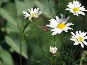 image of gadfly  - White Chamomiles and gadfly on the green background - JPG