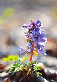 image of primrose  - Spring forest flora  - JPG