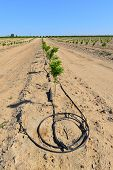 stock photo of drought  - Newly planted almond trees on a San Joaquin Valley farm are watered with a drip irrigation system in a time of drought in California - JPG