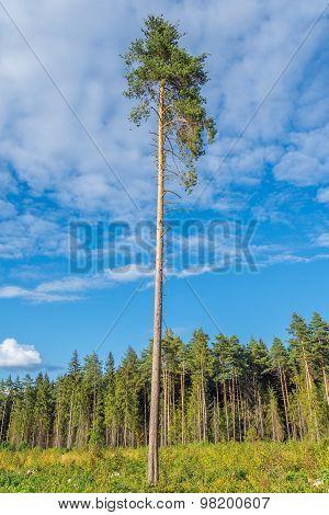 Tall old pine tree.