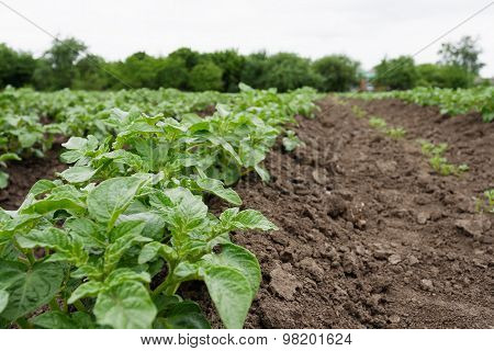 Potato Beds