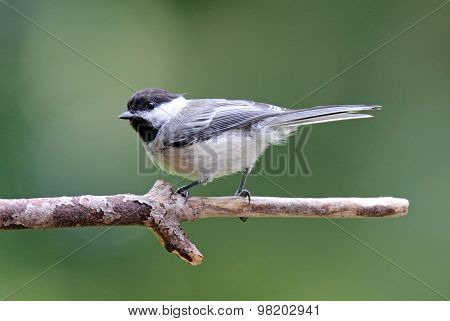 Perched Black Capped Chickadee