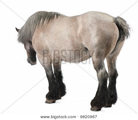 Belgian Horse, Belgian Heavy Horse, Brabancon, A Draft Horse Breed, 11 Years Old, Standing In Front
