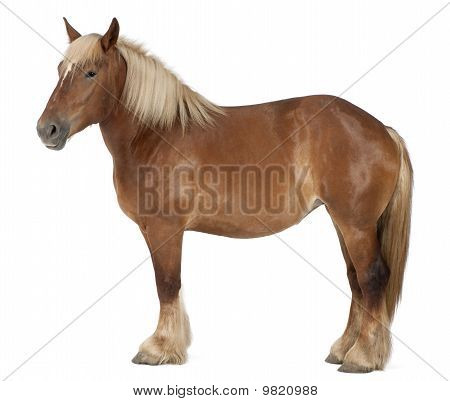 Belgian Horse, Belgian Heavy Horse, Brabancon, A Draft Horse Breed, 4 Years Old, Standing In Front O