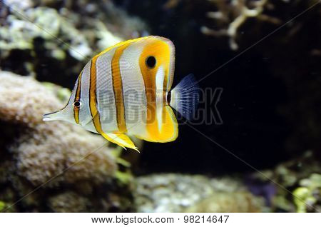 Copperband butterflyfish swim underwater in a tropical reef.